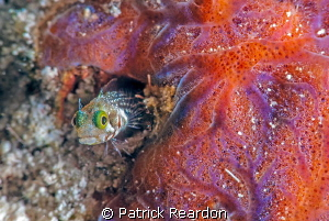 Secretary blenny.  Nikon 105 mm and SubSEa 5X diopter. by Patrick Reardon 